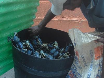 A barrel full of crabs in Guanaja